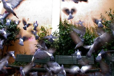 Pigeons - Sydney, Australia