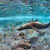 Sea Lion Feeding Frenzy