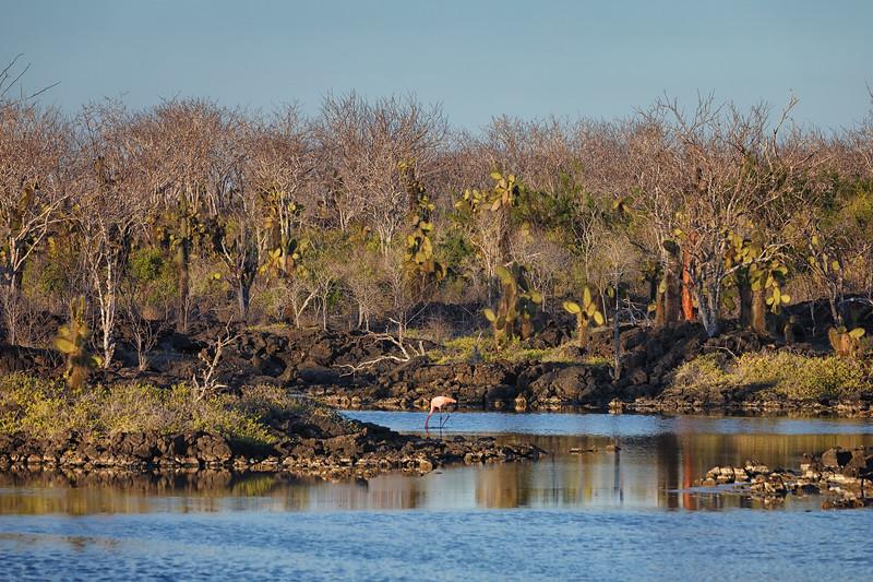 Greater Galápagos Flamingo