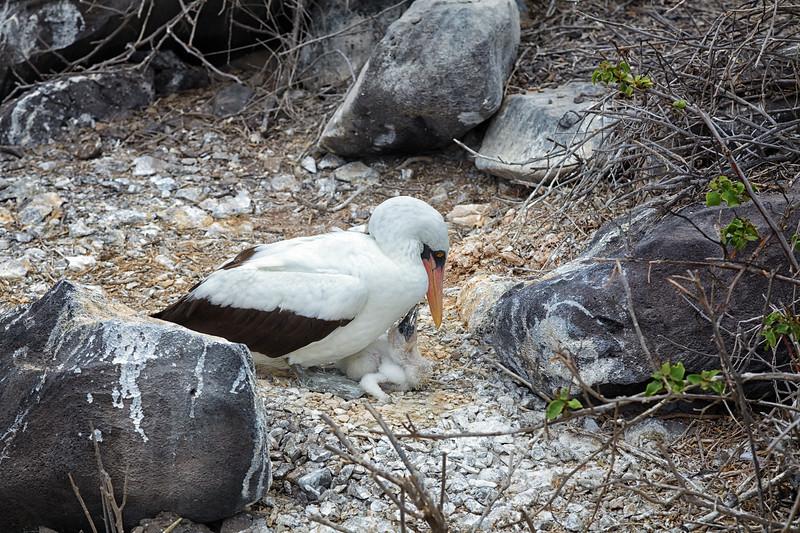 Nazca Chick