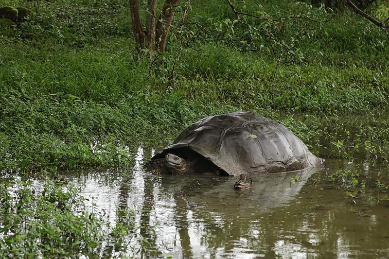 Ducklings & Tortoise