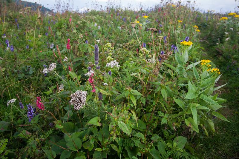 Summer wildflowers on Miranjani, Galiat