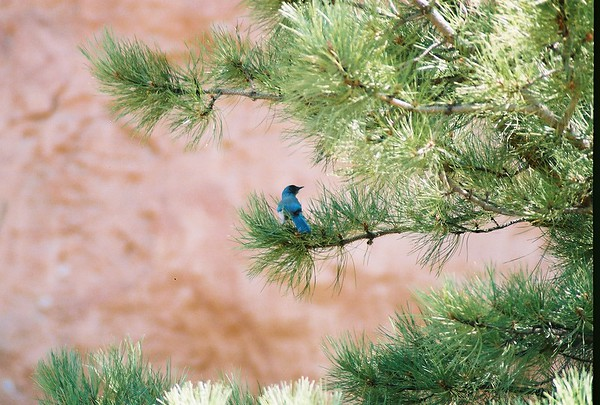 "<p class=""imgcaptl"">Western Scrub Jay</p> <p class=""imgcapts"">Aphelocoma californica</p> <p class=""imgcaptx"">in the <span class=""osnbrz""> Garden of the Gods</span>  Colorado Springs, CO.</p> <p class=""imgcapfn"">4285520-R1-007-2 from Nikon 65 35mm film</p>"
