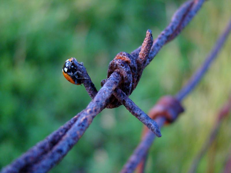 Ladybug at Sunset (00072)