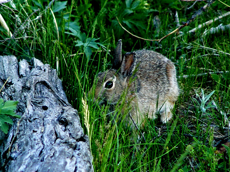"""I'm a log... I'm a log... You can't see me...Go away...""<br /> Rocky Mountain National Park<br /> Rabbit, Hare, whatever..."