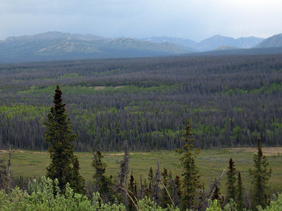 Stands of barren spruce trees showing signs of pine beetle infestation.