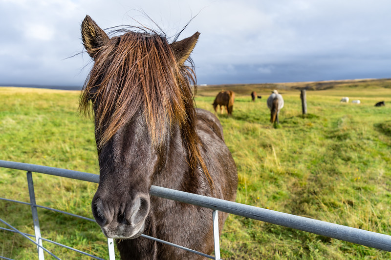 Icelandic Horses along Iceland's Golden Circle