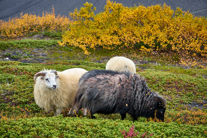 Sheep along the Hverfjall-Stóragjá trail