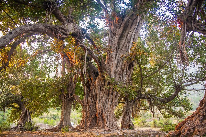An ancient banyan tree near Islamabad