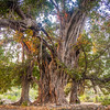 An ancient banyan tree near Islamabad