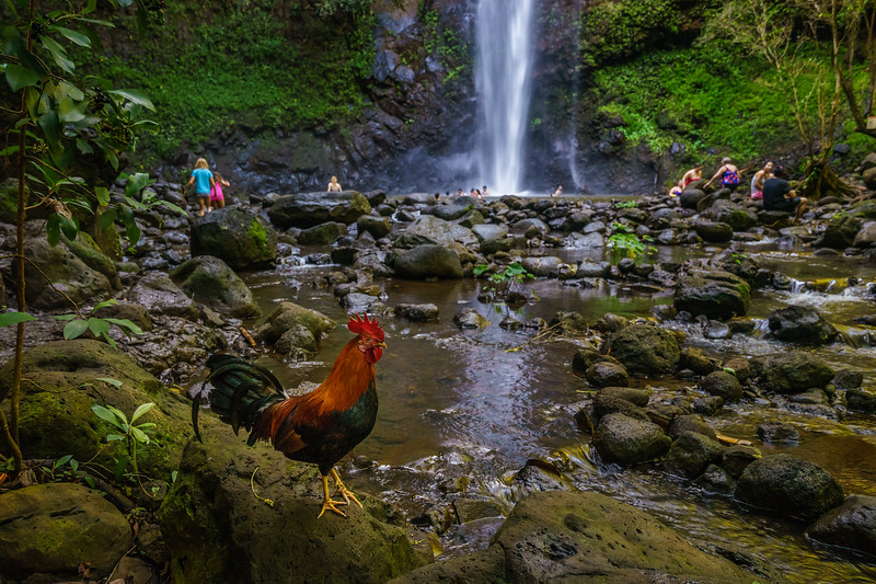 You just can't escape the roosters in Kaua'i no matter where you go