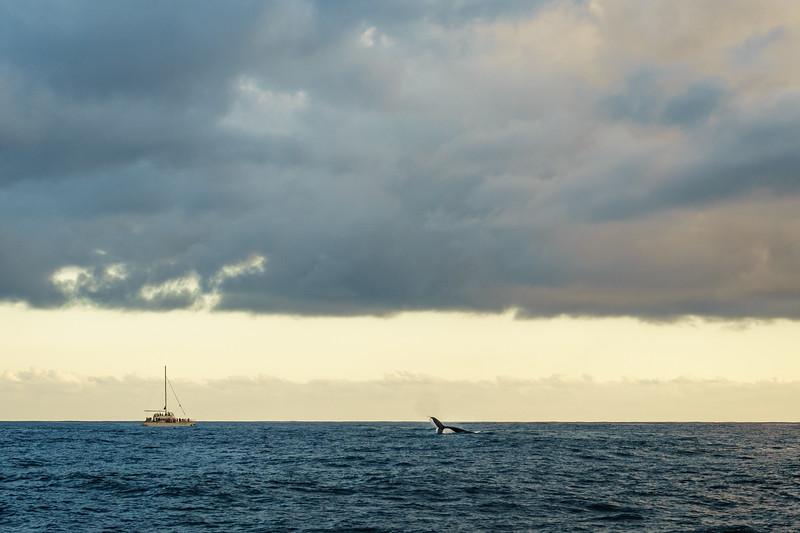 Humpback whales playing off the Na Pali Coast, Kaua'i