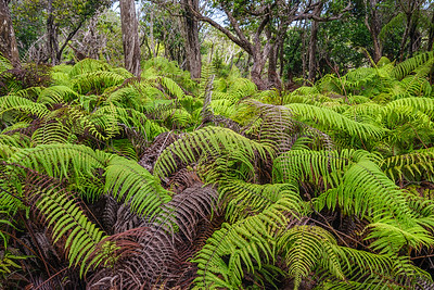 "Ferns, known as ""Uluhe lau nui""."