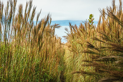 Tall grasses mark the end of the Awa'awapuhi Trail
