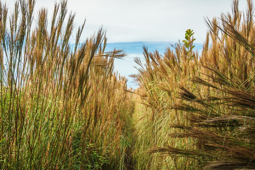 Tall grasses mark the end of the Awa'awapuhi Trail