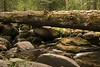 Fallen giant sequoia