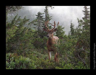 068 Curious Deer