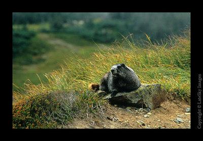A07 Hoary Marmot