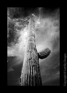M01 Tall Saguaro