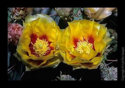D42 Cactus Blooms