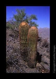 P05 Small Saguaros