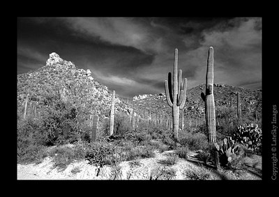 D23 Saguaros & Mountain