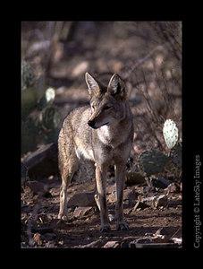 D6 Hunting Cyote (captive)