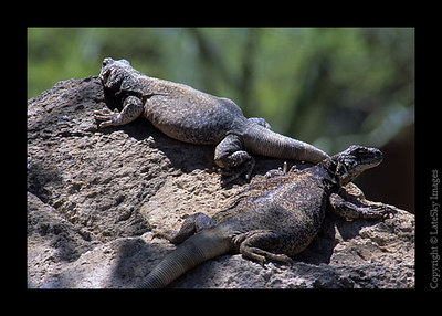 D35 Common Chuckwalla (captive)