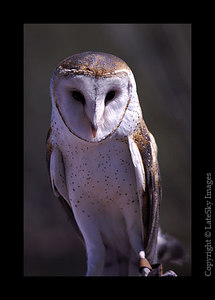 D2 Bard Owl (captive)