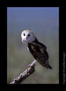 D34 Bard Owl (captive)