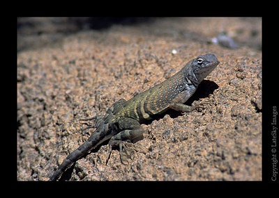 D33 Long-tailed Lizard (captive)