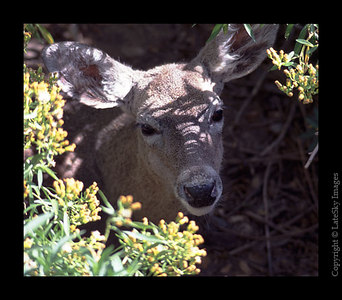 D8 Mule Deer (captive)