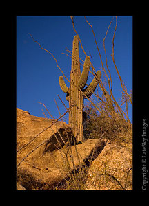 C67 Saguaro Over Rock