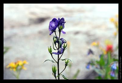 WY11_1133 Monkshood Wildflower