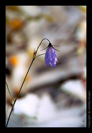 Y19 Snowy Violet