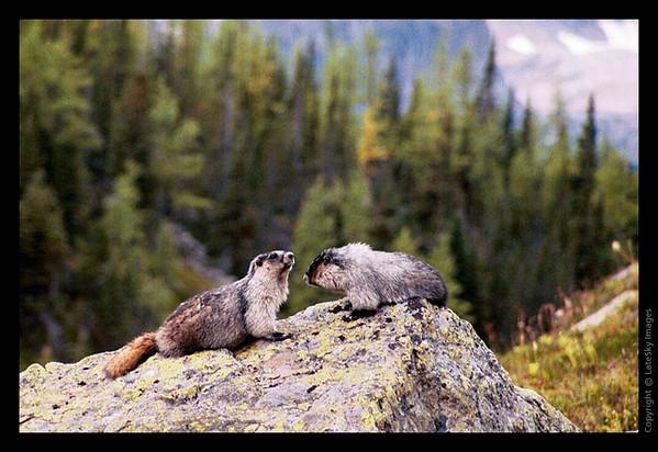 Y16 Marmots