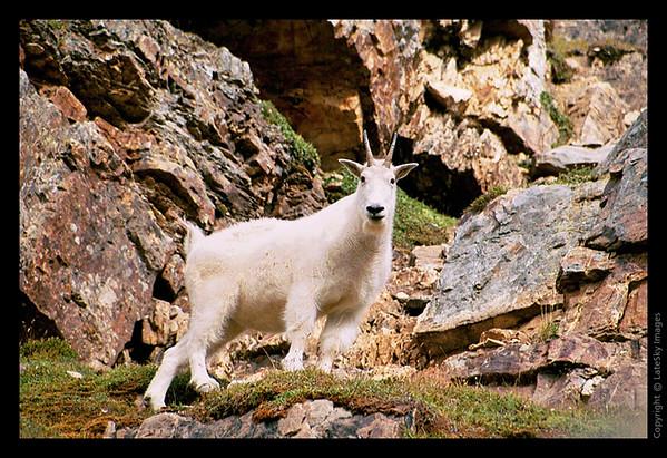 Y17 Mountain Goat