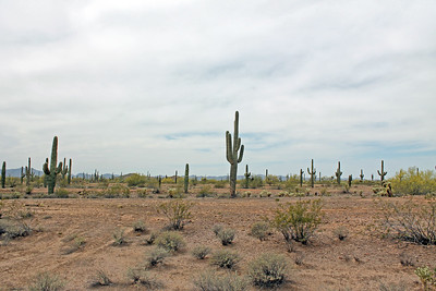 Expanse of the Saguaro