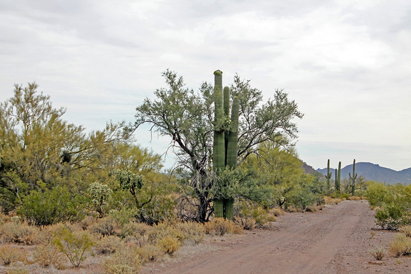 Cactus side road