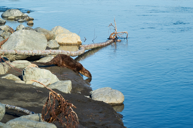 A river otter taking a morning drink at Cooskie Creek