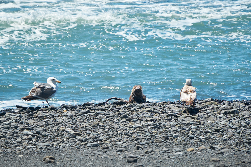 Unique wildlife on the Lost Coast Trail - a river otter sits on the beach and eats a fish as seagulls look on, hoping for scraps