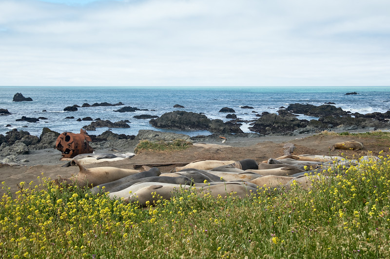 Elephant seals very close to the Lost Coast Trail