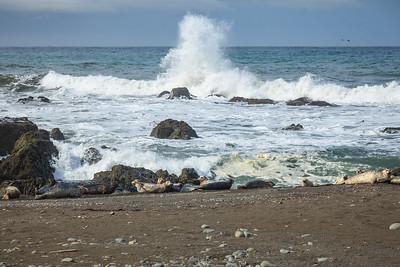 Harbor seals at Punta Gorda.