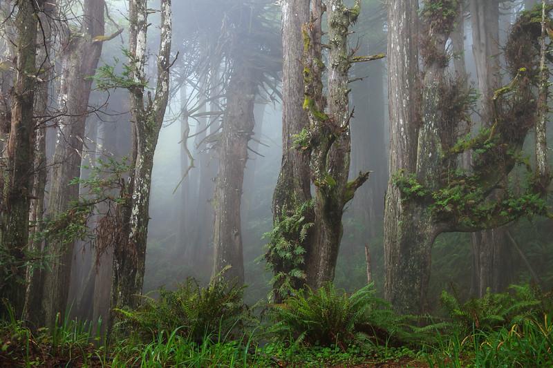 Redwood groves in the Sinkyone Wilderness.