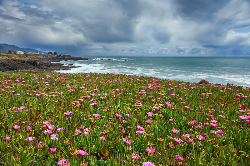 Seaside daisies at Abalone Point, Shelter Cove.