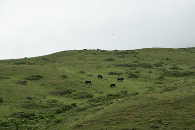 Cattle on the hills near Mattole Beach, at the start of the Lost Coast Trail
