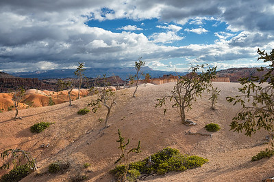 Trees in the dunes on the Queens Garden Trail, Bryce Canyon National Park