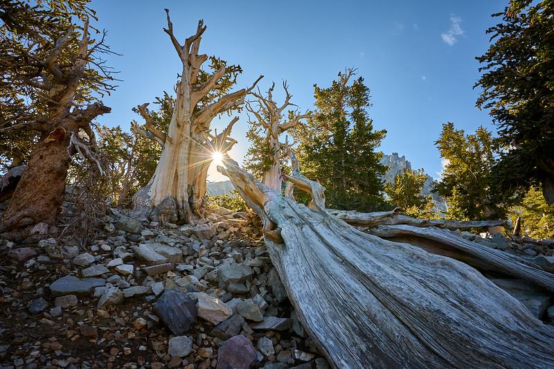 Bristlecone pines at Great Basin National Park.