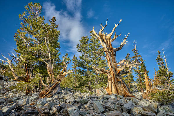 An ancient bristlecone pine at Great Basin National Park.