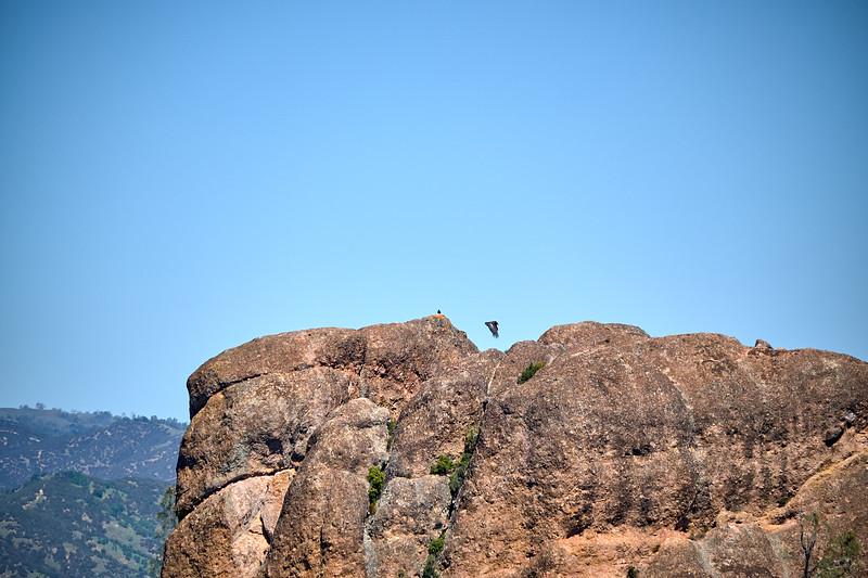 California Condors at Pinnacles